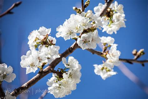 alison toon photographer cherry blossom in northern