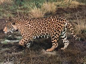 Are There Jaguars In Jaguar The True Adventures