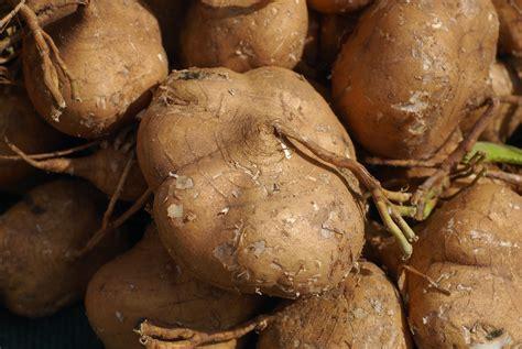 is yam a root vegetable file pachyrhizus erosus 2 jpg wikimedia commons