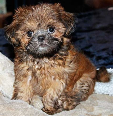 shih poo puppies for sale in michigan teddy puppies near chicago picture breeds picture