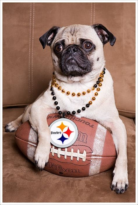 pug pittsburgh pin by martin policastro on steelers