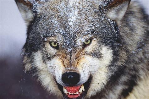 imagenes de animales lobos lobos