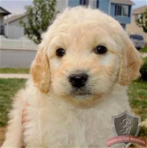 goldendoodle puppies for sale in tx goldendoodle breeders home