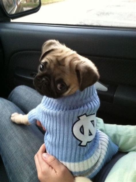 buy a pug 1000 ideas about buy a pug on pug information