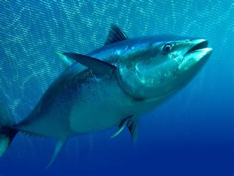 Tuna Fish Helps Lead Detox by Coffee With Fish Reduces Mercury Exposure Study Shows