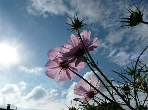 doorschijnende bloemen roze doorschijnend licht lucht wolken bloem cosmea foto