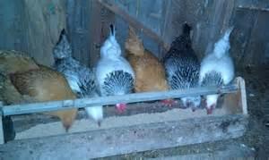 backyard poultry 101 cornell small farms program