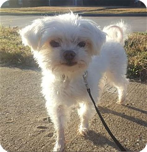 shih tzu rescue plano plano tx maltese shih tzu mix meet marshmallow a for adoption