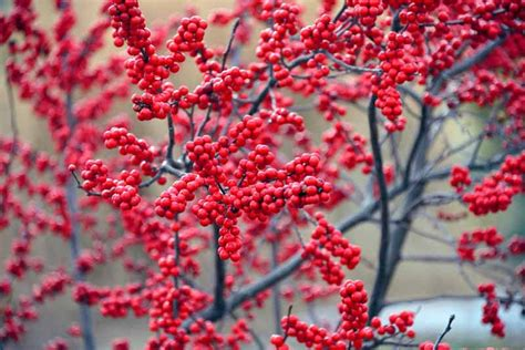 attractive deciduous shrubs  trees  red fruits