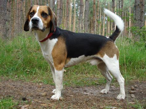 beagle hound puppies beagle harrier breed standards