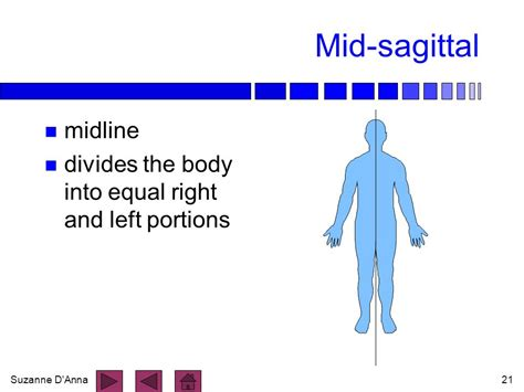 divides body or organ into unequal right and left sections anatomical position ppt video online download