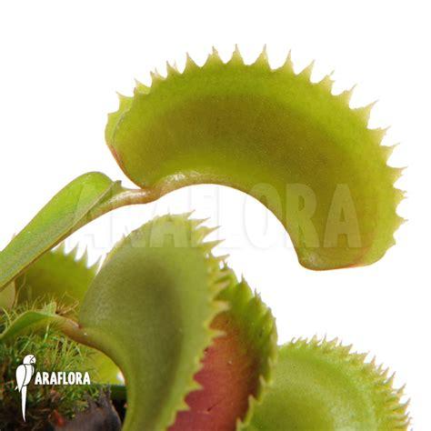 Benih Venus Flytrap Dentate araflora flora more venus flytrap dionaea muscipula dentate