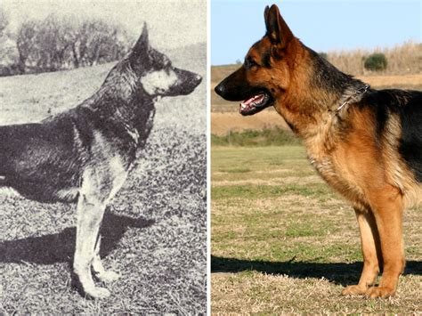 how do dogs to be to breed here s what popular breeds looked like before and after 100 yea