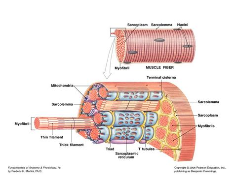 striated cell diagram tissue anatomy physiology nutrition with