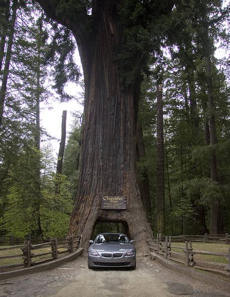 Chandelier Drive Through Tree Chandelier Tree Drive Thru Tree Park California Xcitefun Net