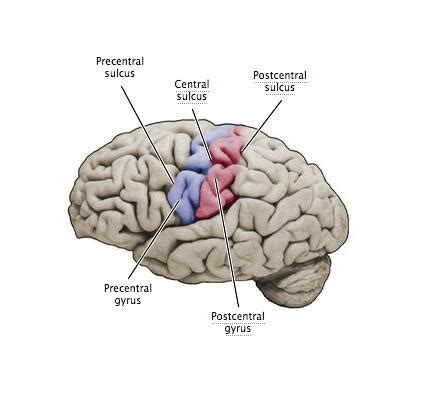 right motor cortex damage brain functions definitions location educational