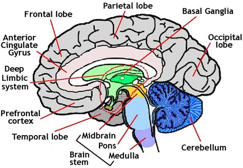 brain diagram for simple brain diagram clipart best