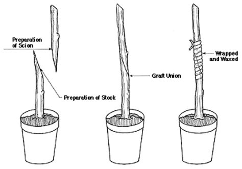 bench grafting apple trees how to get nearly free fruit trees