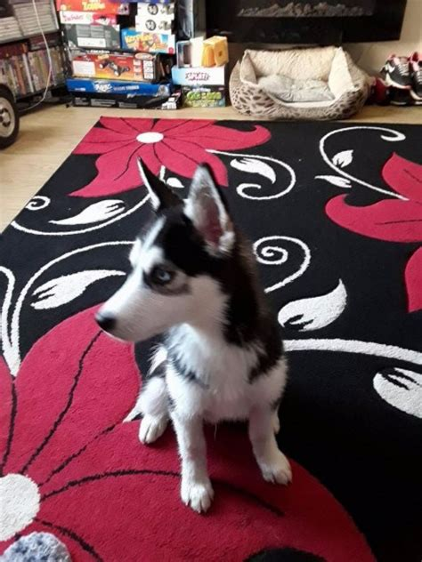 husky puppies for sale in california 5 beautiful siberian husky puppies for sale dogs puppies