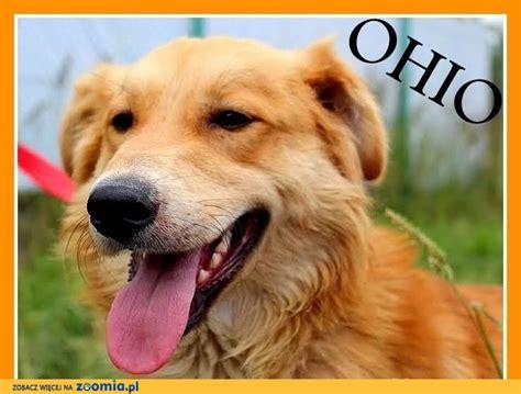 chesapeake bay retriever and golden retriever mix ohio golden mix rudy łagodny grzeczny młody pies długowłosy adopcja 171 chesapeake