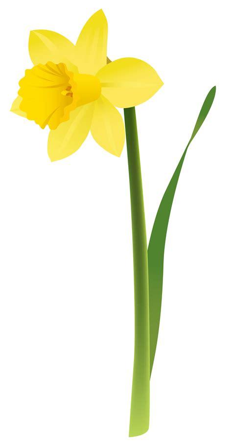 clipart immagini daffodil cliparts
