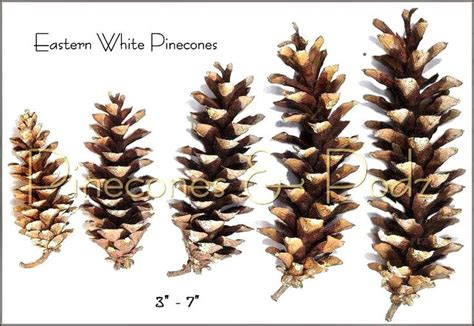 white pine cone 25 best transfers for pottery images on pinterest peony