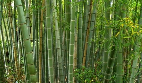 why do we use bamboo