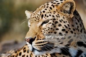 Jaguar Nocturnal Portrait Of Leopard Panthera Pardus Largest Of Spotted