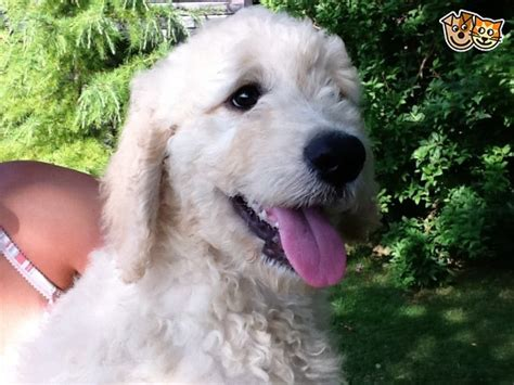 golden retriever puppies for sale in suffolk retriever x poodle puppies goldendoodles newmarket