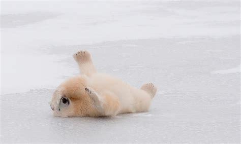 polar fur color why do polar bears white fur and nine other polar