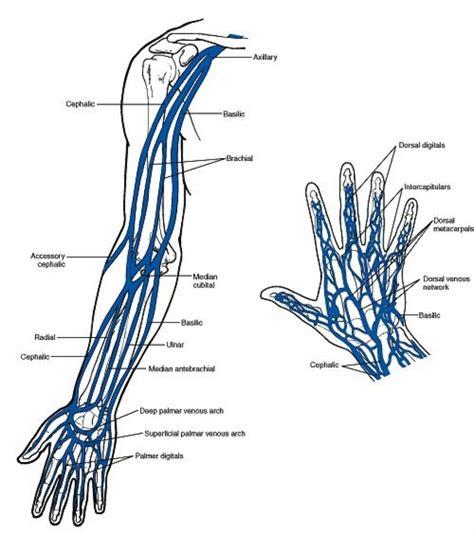 diagram of a vein veins in the arm diagram anatomy organ