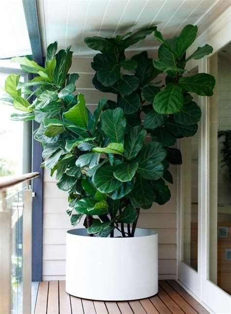 indoor house plants sale stunning large indoor plants for sale pictures