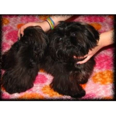 new york shih tzu breeders rejon s shih tzu s shih tzu breeder in new york
