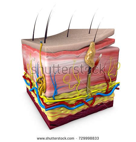 epidermis stock photo images 1 157 epidermis royalty free images and photography available to human skin layers stock images royalty free images vectors