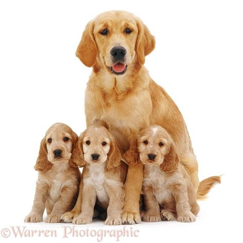 golden cocker retriever uk dogs golden retriever with spaniel pups photo wp09028