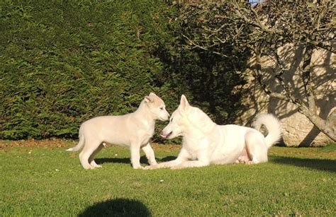 northern inuit for sale 1 northern inuit cross pup for sale braunton pets4homes
