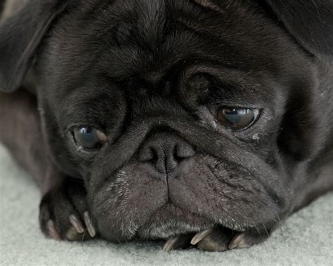 all black pugs black pug by butterlarry on deviantart