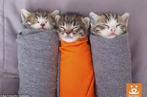 kittens rolled up in blankets at best friends