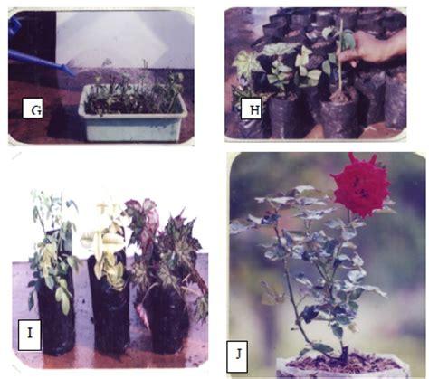Jual Bibit Bunga Mawar Stek cara menanam bunga mawar dengan stek tanamanbaru