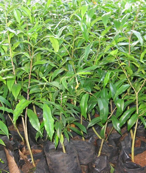 Pohon Kayu Cendana Wangi Ntt 3 Bibit bertani gaharu koleksi foto gaharu