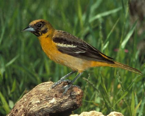 baltimore oriole audubon field guide