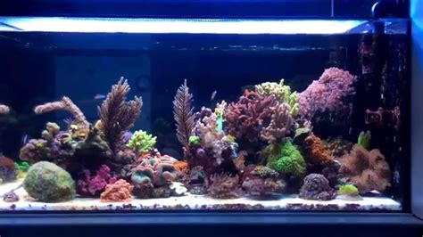soft coral reef tank