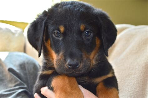 beauceron puppies for sale beauceron puppies www imgkid the image kid has it