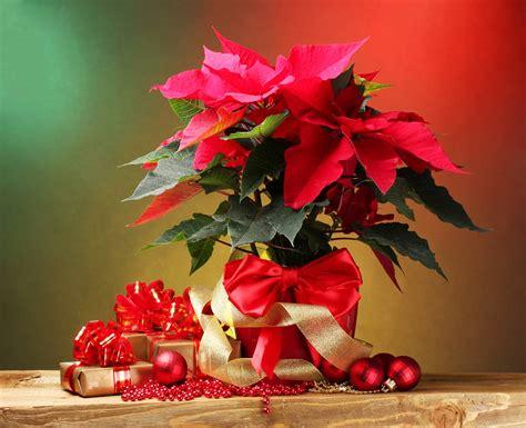 imagenes flores de navidad banco de im 225 genes para ver disfrutar y compartir 20