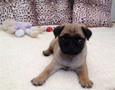 pugs for sale perth precious pugs available now for new homes for sale adoption from botang western
