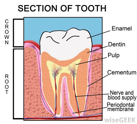 cross section of a tooth a cross section of a human tooth crown root enamel