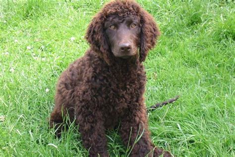 water spaniel puppies water spaniel puppies for sale from reputable