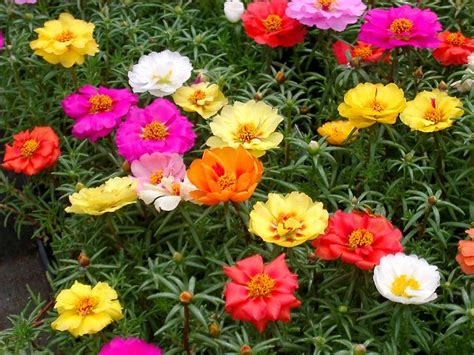 best flower 22 best flowers for full sun heat tolerant flowers for