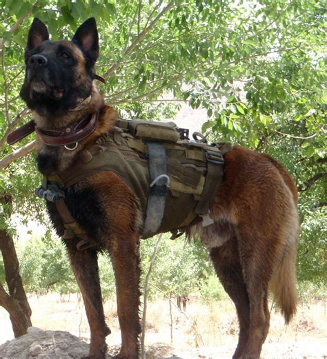 63 best australian dogs of war images on dogs working dogs and