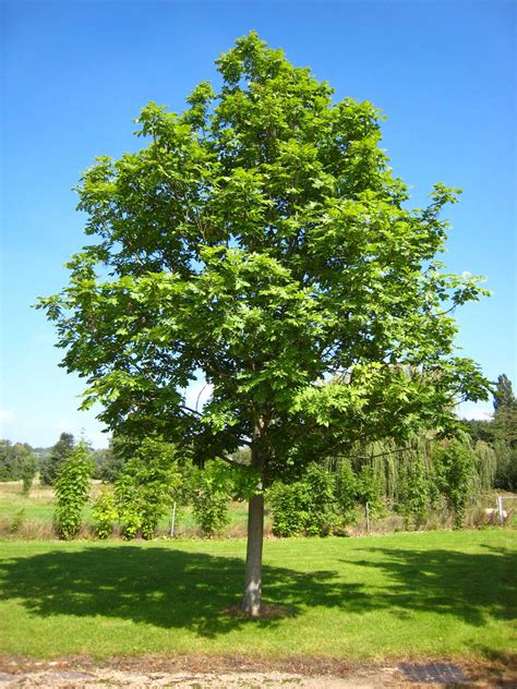 american maple tree uk genome of ash tree aids fight against ash dieback disease genetics sci news